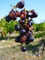 merlot berries ripen skins
