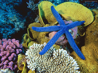 Blue startfish wallpaper