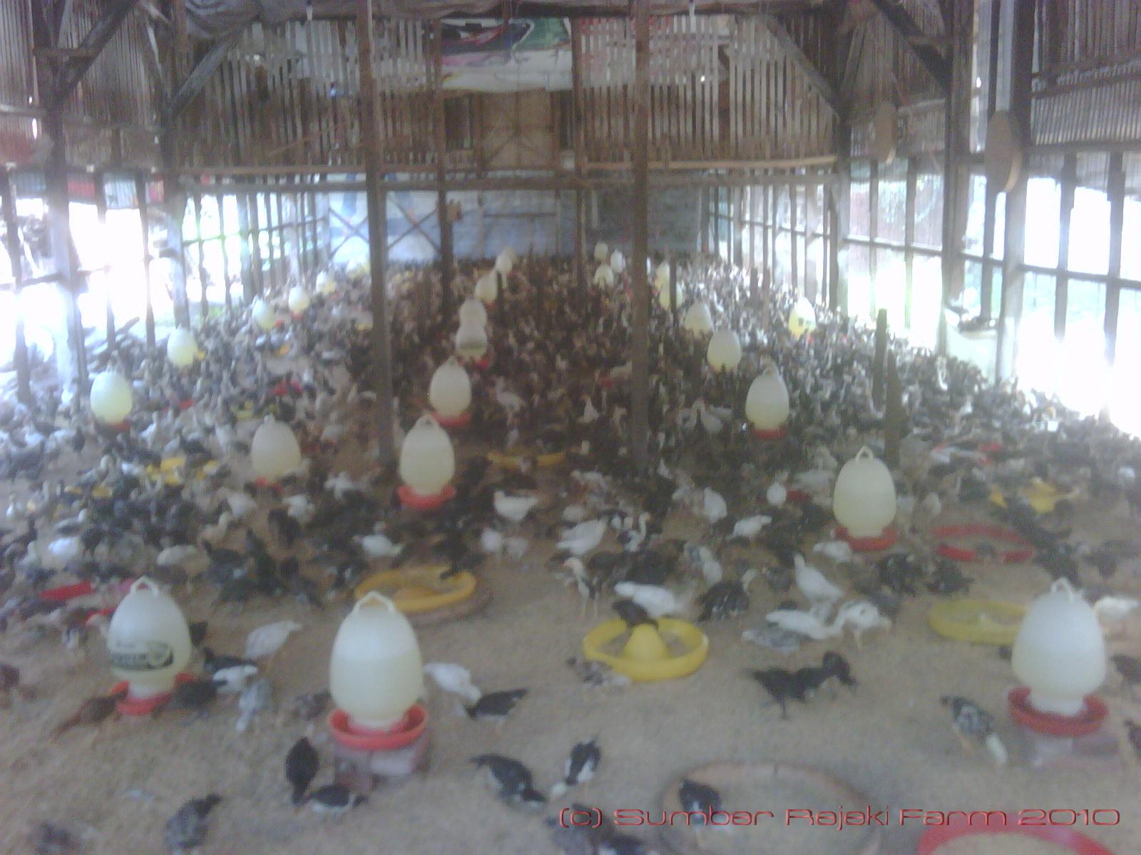 Kebutuhan Luas Lantai dan Alas Kandang Ayam