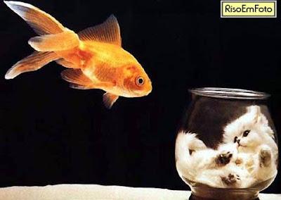 Gatinho preso dentro do aquário é a caça peixe dourado.