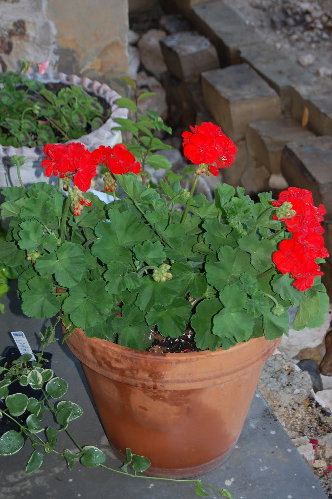 Make my country house a home planting my patio flowers furniture assembly tomorrow - Care geraniums flourishing balcony porch ...