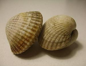 Berberechos, otherwise known as cockles or cockle clams