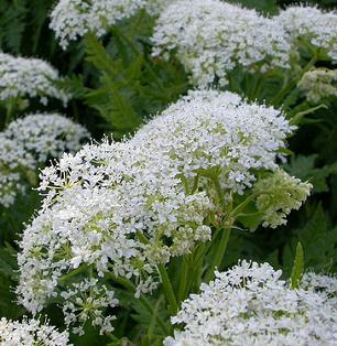 Cicely plants in flower