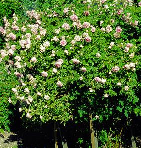 Damask rose bushes