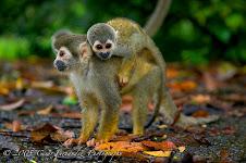 Primates amazónicos