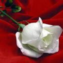 Una rosa blanca prendida en un tapiz de paz