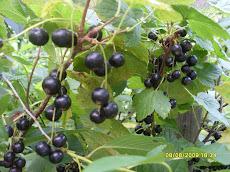 Mustaaherukkaa on elokuussa marjapensaat täynnä