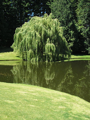 weeping willow,