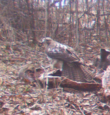 Red-Tailed Hawk on deer carcass