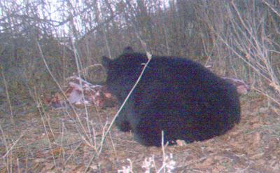 Bear at deer carcass