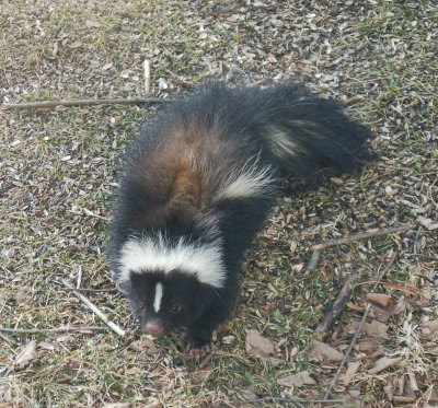 skunk under bird feeder