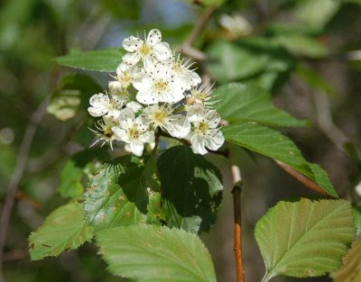 Hawthorn blossoms on Droop Mountain