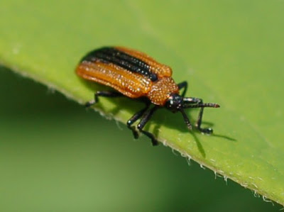Locust Leaf Miner, a chrysomelid beetle