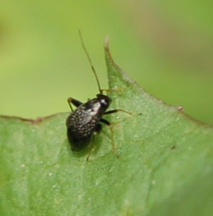 Halticus sp. on dandelion leaf
