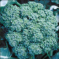 Calabrese Broccoli