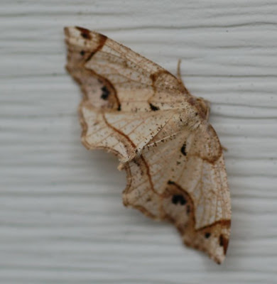 white and brown moth