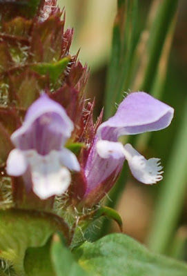 Prunella vulgaris, heal-all