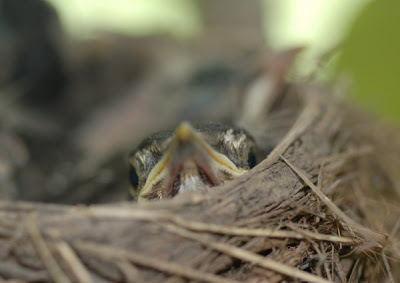 close look from a robin nestling
