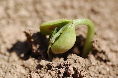 Logan Giant bean cotyledons