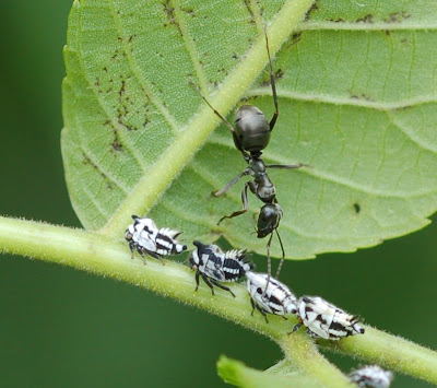 Membracid nymphs tended by ant