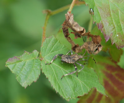 Coreid nymph on blackberry leaves