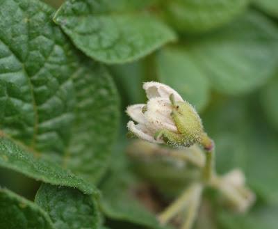 Potato plant blossom