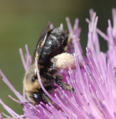 Native bee on thistle