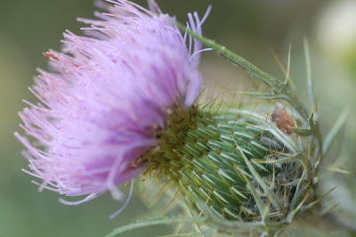 Field thistle blossom