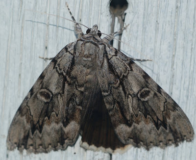 Underwing moth, displaying black hindwings