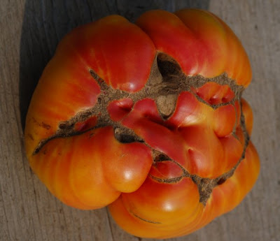 Hillbilly tomato, ridge and valley