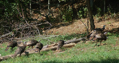 Turkeys by the woodpile