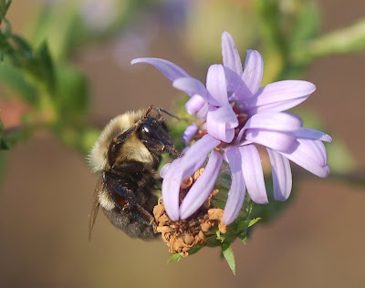 Bumblebee grooming on pale blue aster blossoms