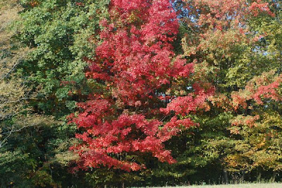 Red sugar maple among the green trees