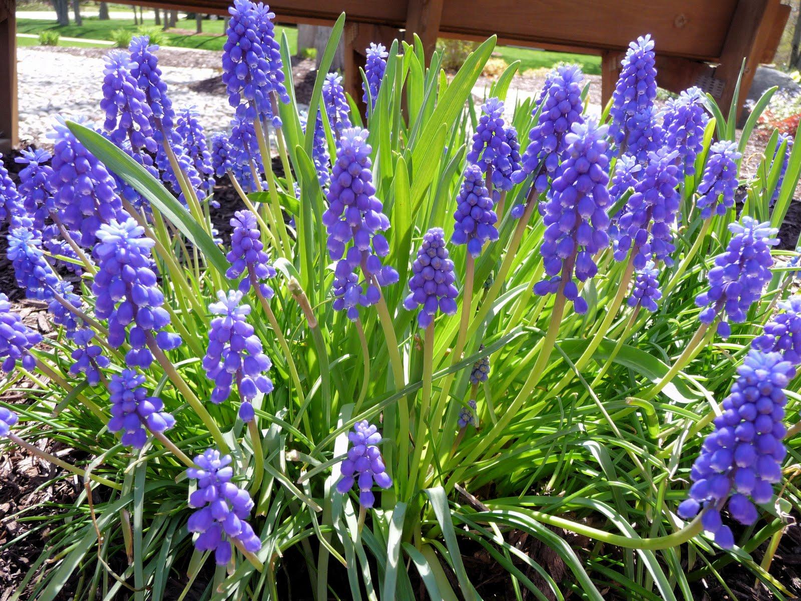 Мускари цветы описание и фото