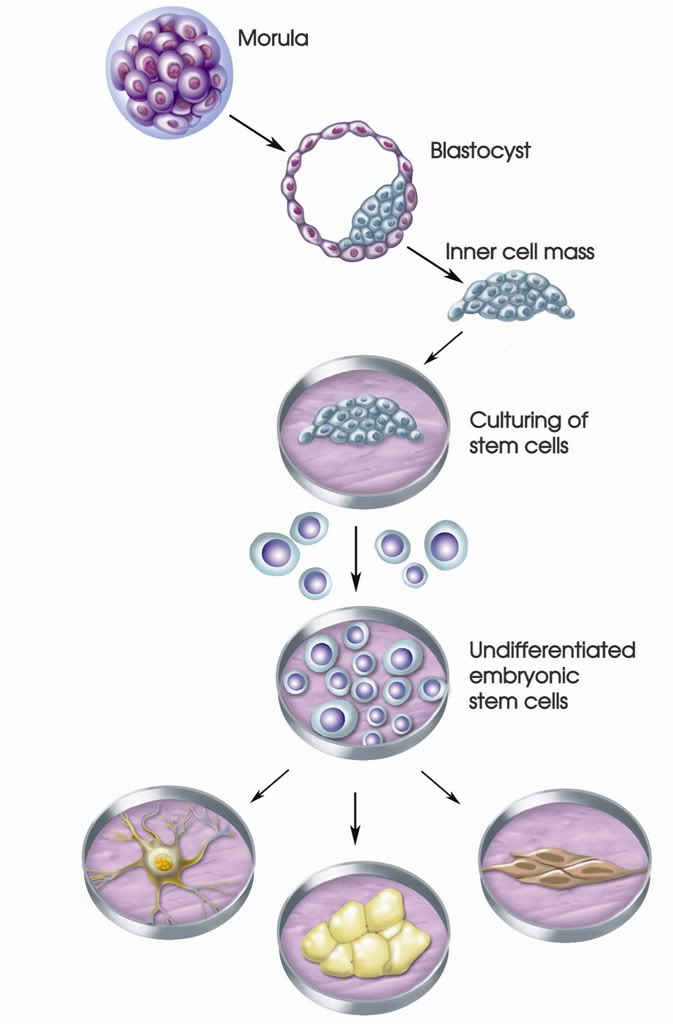 Possible Results of Stem Cell Differentiation