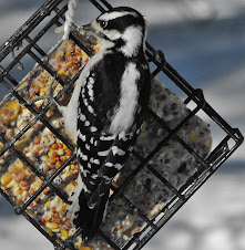 Hairy Woodpecker-female