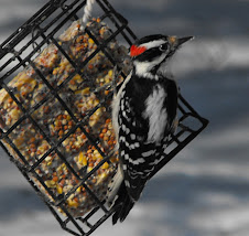 Hairy Woodpecker-male