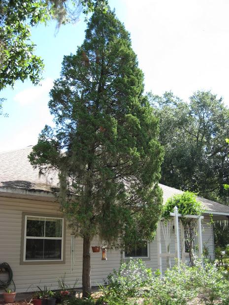 types of cedar trees landscaping
