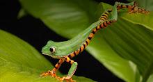 Lemur Frog