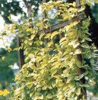 Enredaderas o trepadoras para cubrir pared en jardin - Madreselva planta ...