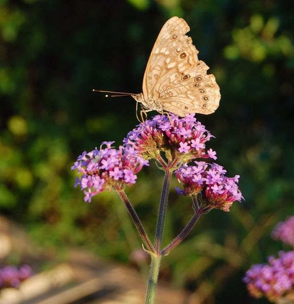 [butterfly+on+verbena]