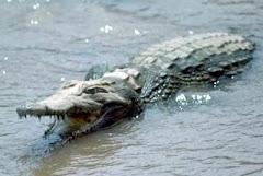 Otro rival del pulpo Paul: el cocodrilo Harry también 'pronostica' que España campeonará