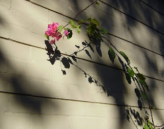A pink bougainvillea flower on a long stem, silhouetted against a wall.