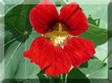 Flor de Capuchinha