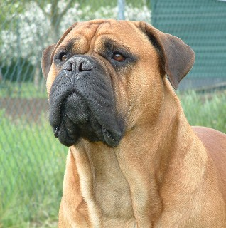 Dog Disease, Dog Diseases and Dog Breeds: Dog Breeds - Bullmastiff
