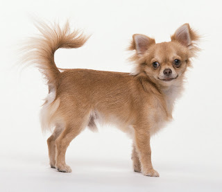 LE CHIHUAHUA Chihuahua+breed+picture