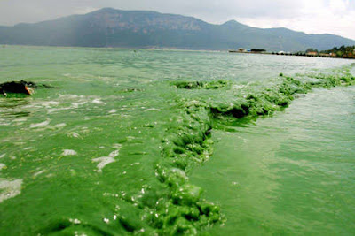 http://4.bp.blogspot.com/_KbJGi-TtEtQ/SVGUNroO4aI/AAAAAAAAAyE/iGR9zvvSrPg/s400/Dianchi+Lake_China_Blue+Green+Algae+Bloom.jpg
