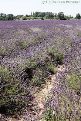 Lavender field Durance