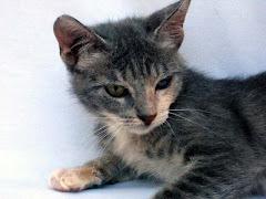 Adoptá un gatito