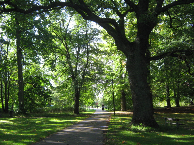 photo of large elm trees by Susan Wellington